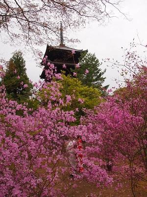 仁和寺の御室桜と御殿_a0131787_15334219.jpg