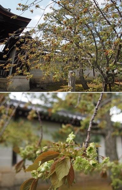 仁和寺の御室桜と御殿_a0131787_153517.jpg
