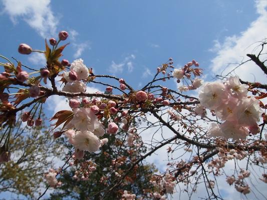 仁和寺の御室桜と御殿_a0131787_15355989.jpg