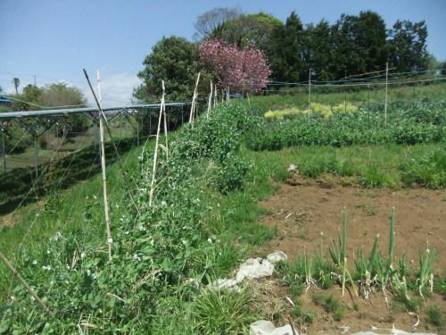 越冬豆の花咲き乱れ..初収穫..._b0137932_17531301.jpg