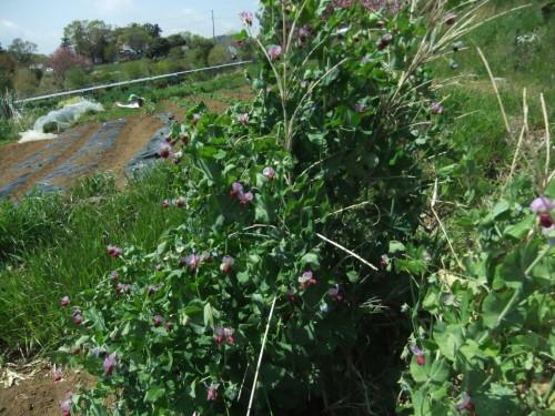 越冬豆の花咲き乱れ..初収穫..._b0137932_17555417.jpg