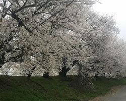 桜は咲きましたが、、、、_d0050155_09062150.jpg