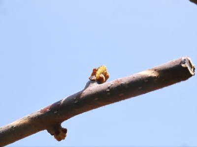 キウイの芽吹き!しかし、4月7日の雪で新芽が・・・。_a0254656_18413227.jpg