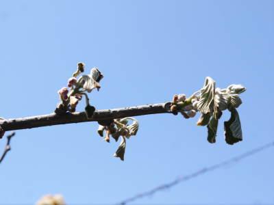 キウイの芽吹き!しかし、4月7日の雪で新芽が・・・。_a0254656_18442549.jpg