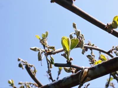 キウイの芽吹き!しかし、4月7日の雪で新芽が・・・。_a0254656_18534000.jpg