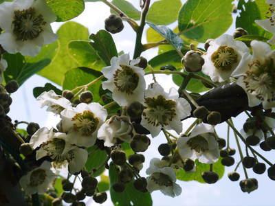 キウイの芽吹き!しかし、4月7日の雪で新芽が・・・。_a0254656_19052216.jpg