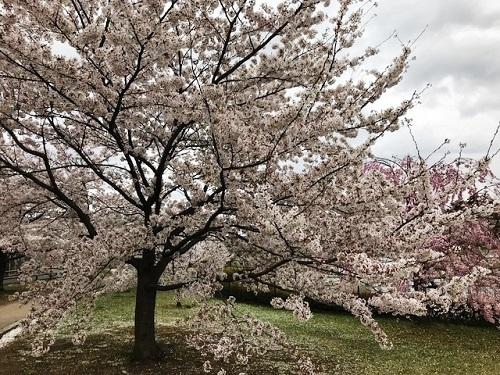 2018年春「桜」_e0211357_16030877.jpg