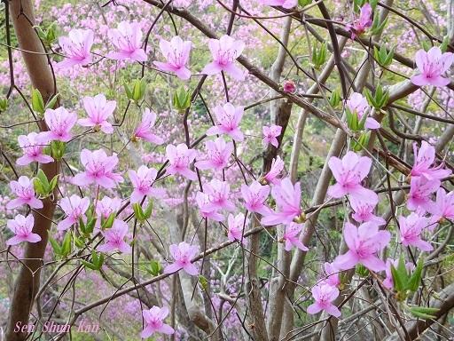 今、山ではつつじ(三つ葉ツツジ)が美しい 2018年4月8日_a0164068_20054715.jpg