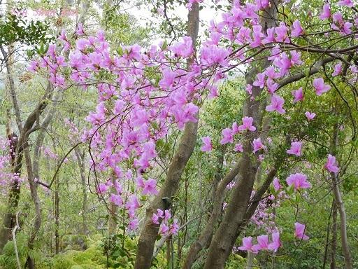 今、山ではつつじ(三つ葉ツツジ)が美しい 2018年4月8日_a0164068_20054784.jpg