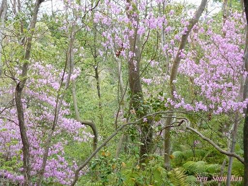 今、山ではつつじ(三つ葉ツツジ)が美しい 2018年4月8日_a0164068_20054840.jpg