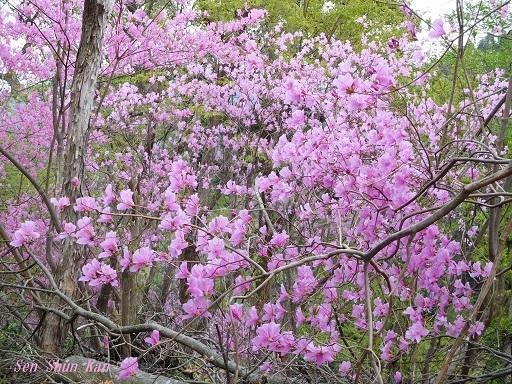 今、山ではつつじ(三つ葉ツツジ)が美しい 2018年4月8日_a0164068_20054871.jpg