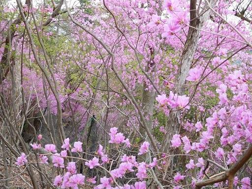 今、山ではつつじ(三つ葉ツツジ)が美しい 2018年4月8日_a0164068_20054883.jpg