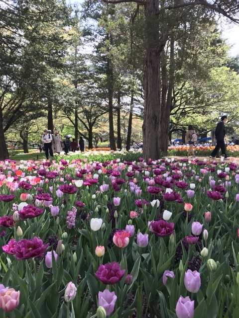 昭和記念公園のチューリップ 2018_a0180279_18154968.jpg