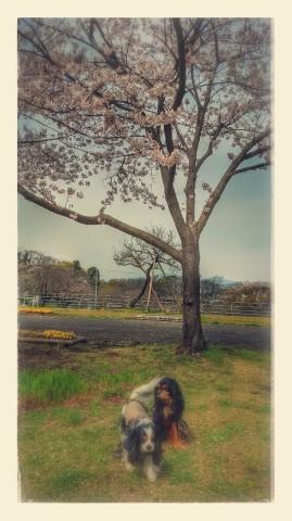 散る桜 残る桜も 散る桜_a0134306_09103228.jpg