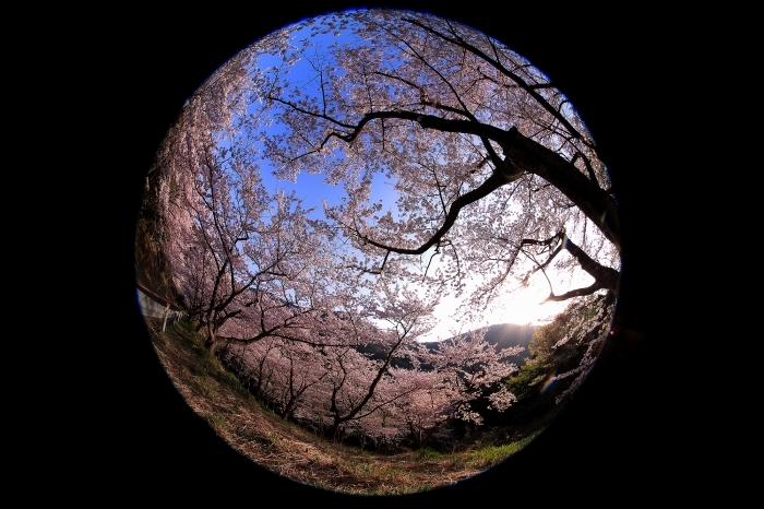"""春爛漫 """"野呂山桜紀行"""" NO.Ⅵ_a0140608_06582272.jpg"""