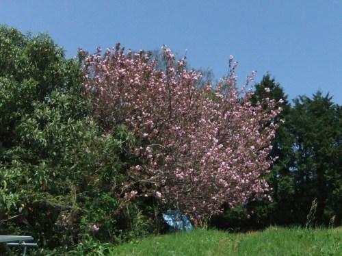 桜に見守られ....種まき_b0137932_08184306.jpg