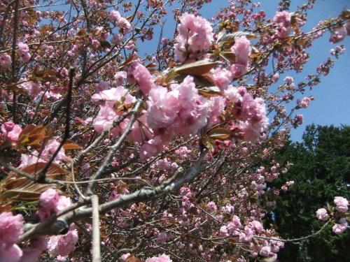 桜に見守られ....種まき_b0137932_08193083.jpg
