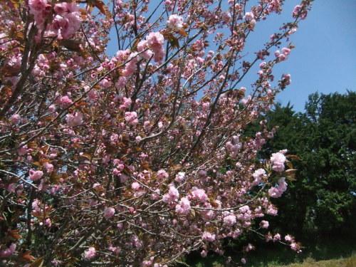 桜に見守られ....種まき_b0137932_08201091.jpg