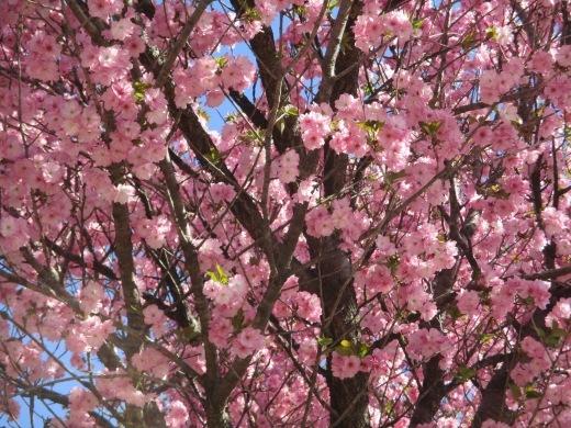 日曜日のお花見     4月10日_d0127634_11393428.jpg