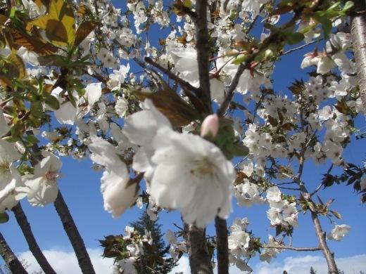 日曜日のお花見     4月10日_d0127634_11455390.jpg
