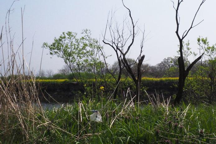小貝川の土手をモンシロチョウが浪漫飛行_d0149245_16063905.jpg