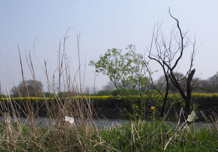 小貝川の土手をモンシロチョウが浪漫飛行_d0149245_16064305.jpg