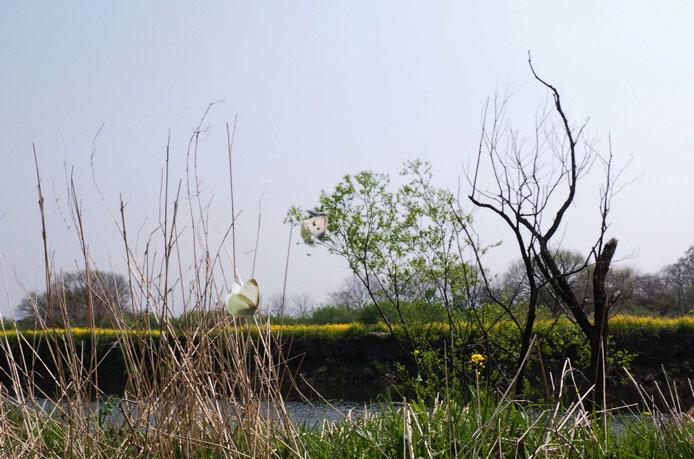 小貝川の土手をモンシロチョウが浪漫飛行_d0149245_16064630.jpg