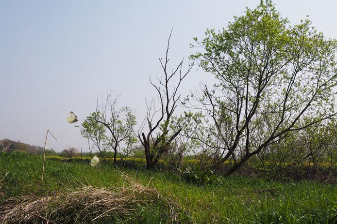 小貝川の土手をモンシロチョウが浪漫飛行_d0149245_16065317.jpg