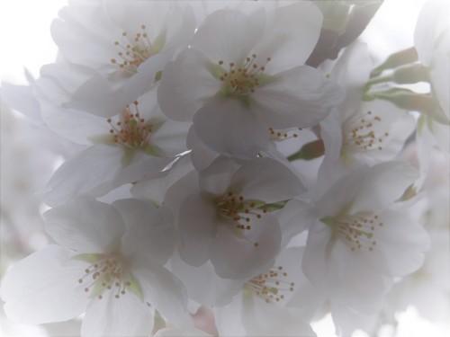 散りゆく桜_e0240147_09143902.jpg