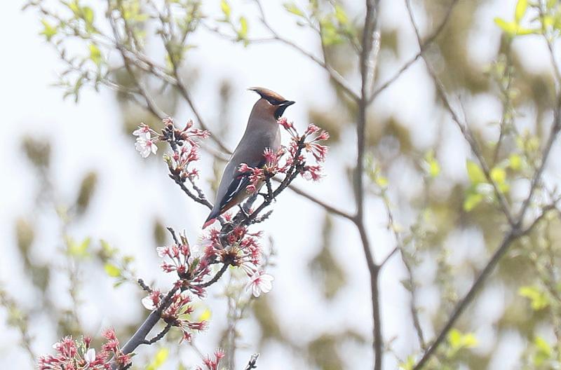 桜の花と~写したかったのですが・・・_f0368272_22432361.jpg