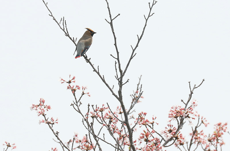 桜の花と~写したかったのですが・・・_f0368272_22434124.jpg