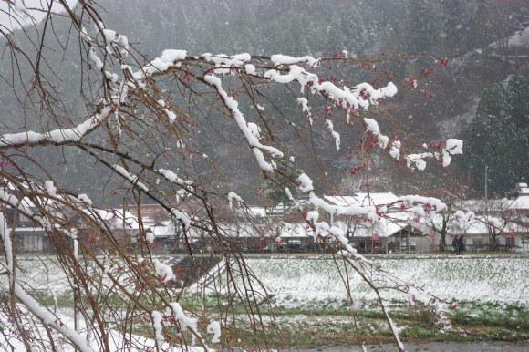 No 141   雪に震える新庄村がいせん桜 (2018年4月8日)_d0341514_20235418.jpg