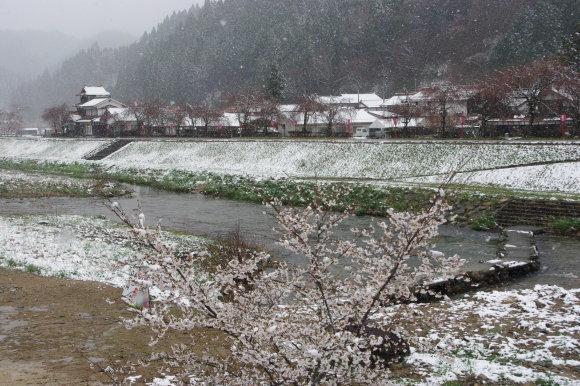 No 141   雪に震える新庄村がいせん桜 (2018年4月8日)_d0341514_20240814.jpg