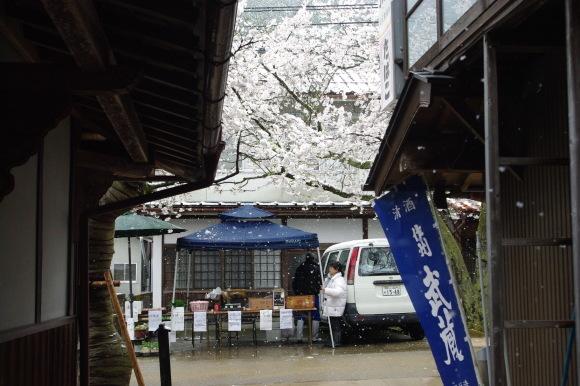 No 141   雪に震える新庄村がいせん桜 (2018年4月8日)_d0341514_20243450.jpg
