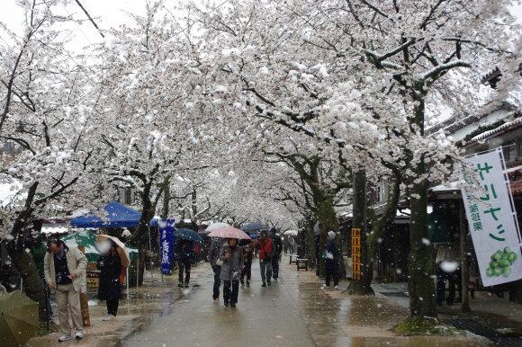 No 141   雪に震える新庄村がいせん桜 (2018年4月8日)_d0341514_20244877.jpg
