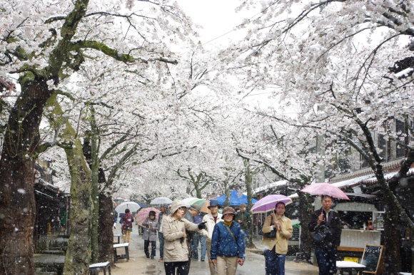 No 141   雪に震える新庄村がいせん桜 (2018年4月8日)_d0341514_20251695.jpg