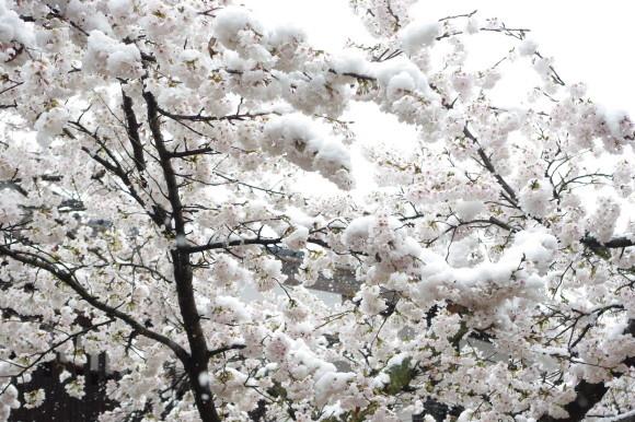 No 141   雪に震える新庄村がいせん桜 (2018年4月8日)_d0341514_20252552.jpg