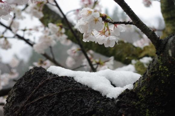 No 141   雪に震える新庄村がいせん桜 (2018年4月8日)_d0341514_20255026.jpg