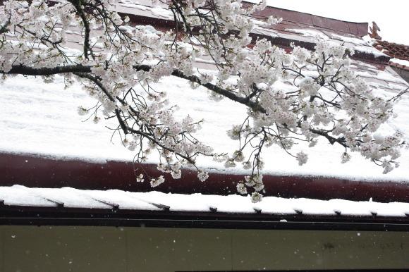No 141   雪に震える新庄村がいせん桜 (2018年4月8日)_d0341514_20262683.jpg