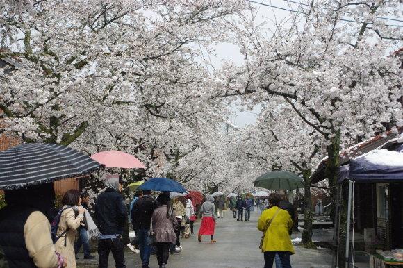 No 141   雪に震える新庄村がいせん桜 (2018年4月8日)_d0341514_20264098.jpg