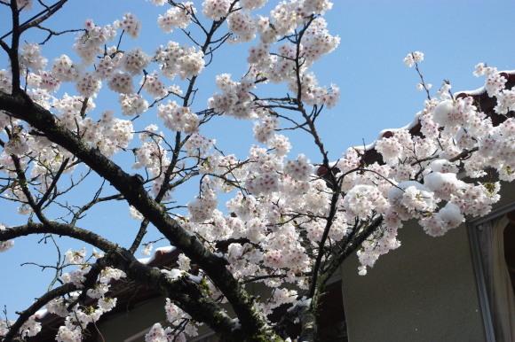 No 141   雪に震える新庄村がいせん桜 (2018年4月8日)_d0341514_20265402.jpg