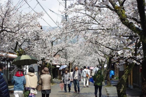 No 141   雪に震える新庄村がいせん桜 (2018年4月8日)_d0341514_20271486.jpg