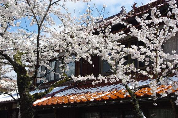 No 141   雪に震える新庄村がいせん桜 (2018年4月8日)_d0341514_20272530.jpg