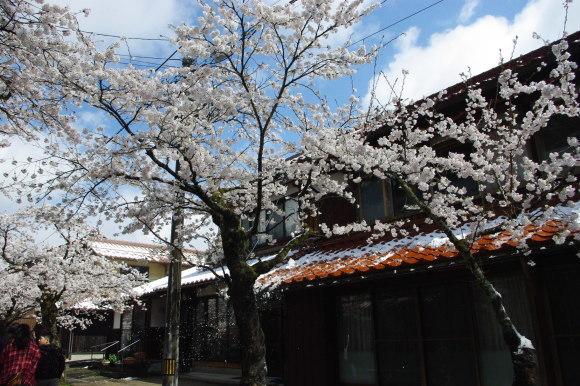 No 141   雪に震える新庄村がいせん桜 (2018年4月8日)_d0341514_20273505.jpg