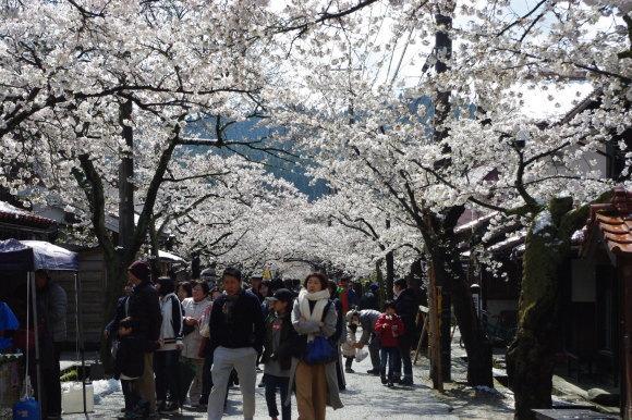 No 141   雪に震える新庄村がいせん桜 (2018年4月8日)_d0341514_20275198.jpg