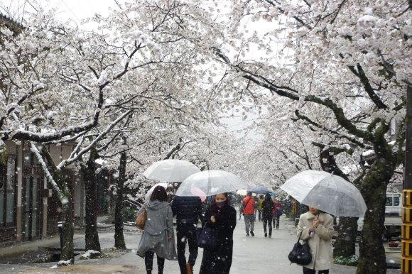 No 141   雪に震える新庄村がいせん桜 (2018年4月8日)_d0341514_20282147.jpg