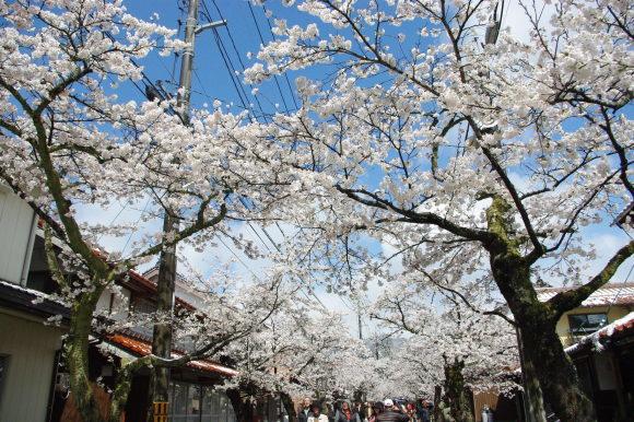 No 141   雪に震える新庄村がいせん桜 (2018年4月8日)_d0341514_20282980.jpg
