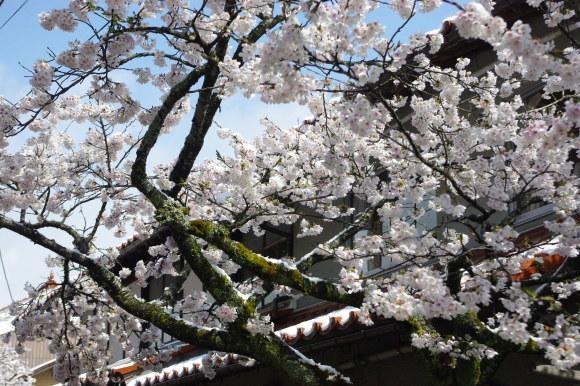 No 141   雪に震える新庄村がいせん桜 (2018年4月8日)_d0341514_20283735.jpg