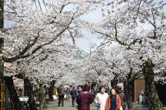 No 141   雪に震える新庄村がいせん桜 (2018年4月8日)_d0341514_20290238.jpg