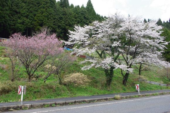 No 141   雪に震える新庄村がいせん桜 (2018年4月8日)_d0341514_20294283.jpg